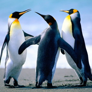 Penguins Talking